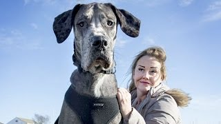 7 Foot 4 inches Tallest Dog In The World - Freddy The Great Dane