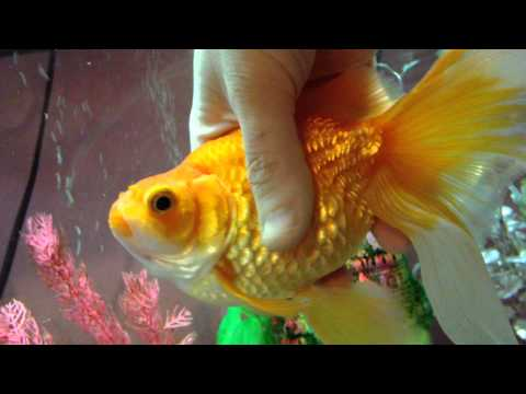 Goldfish With Swimbladder Disease And Dropsy