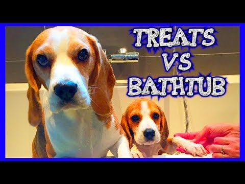 How To Bath a Dog Easily - Funny Beagle Dogs Louie & Marie