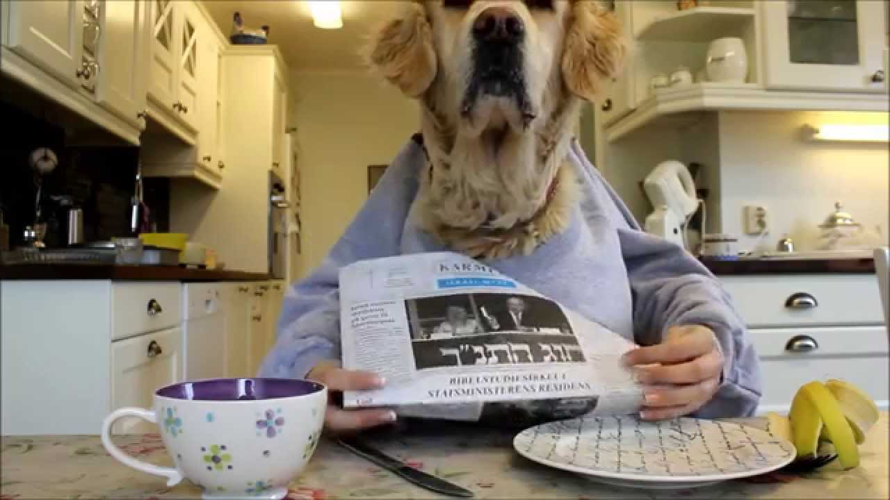 Golden retriever dog eating and reading with hands funny Dog will eat out of hand but not bowl