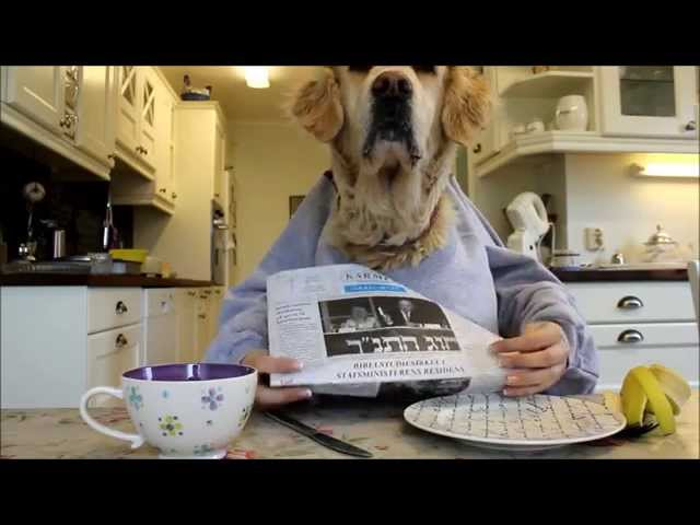 Golden retriever dog eating and reading with hands, funny :) Travel Video