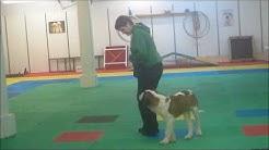Clicker training loose leash walking