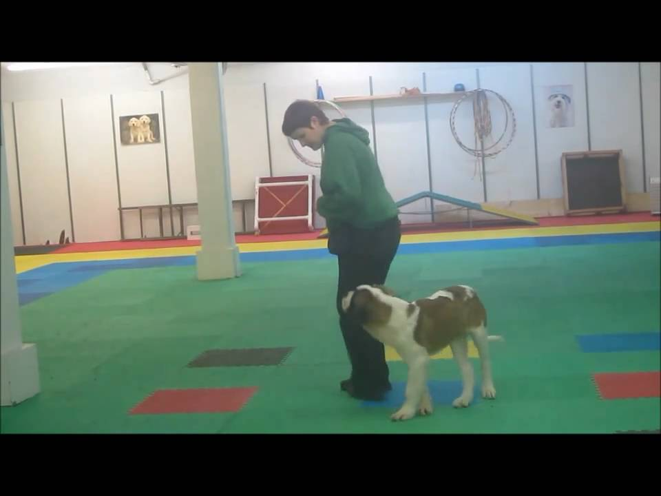 Clicker Training Your Dog Youtube