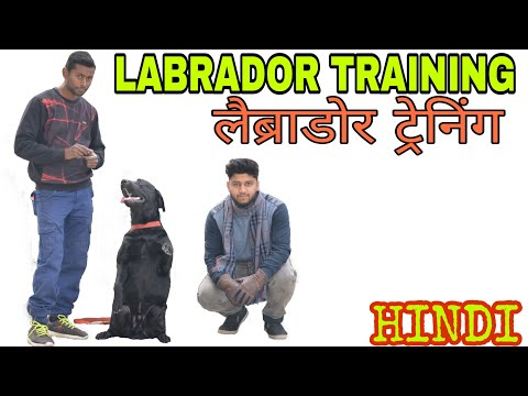 Labrador training in hindi || Dog Training ||