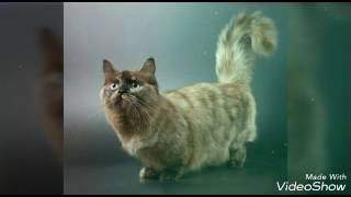 Кошки породы Сингапура Милые котята Узнай свою кошку