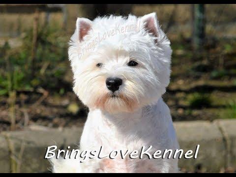 Westie terrier attitude!