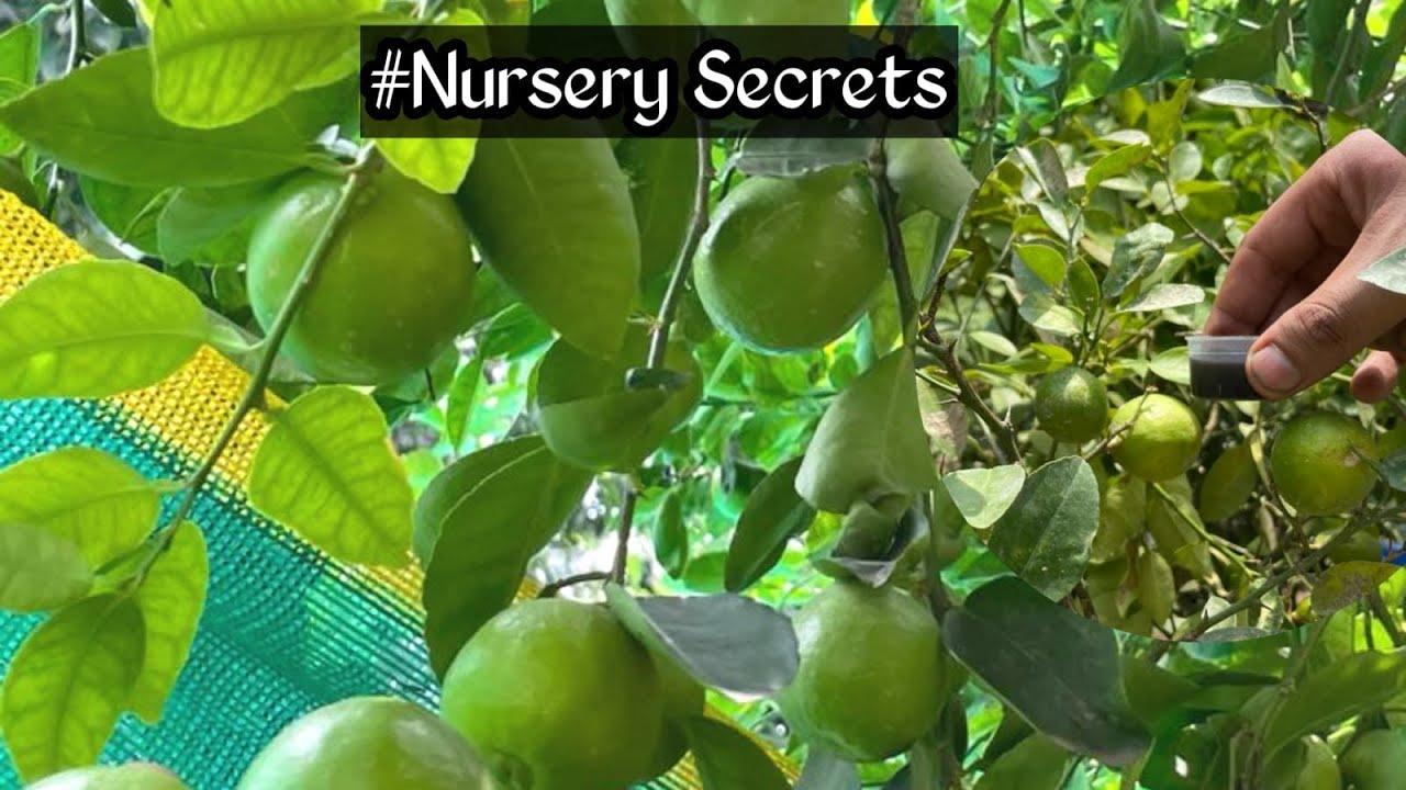 नींबू के पौधे में केवल एक बार यह चीज डाल दो /नींबू फलों से लदा रहेगा/ best fertilizer for lemon tree