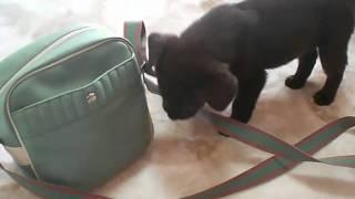 チョコレートラブラドールレトリバーの子犬 あずき 生後57日.