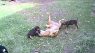 Pig Dog Attacks Puppies.wmv