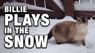 Billie the Siamese / Ragdoll Cat plays in the Snow