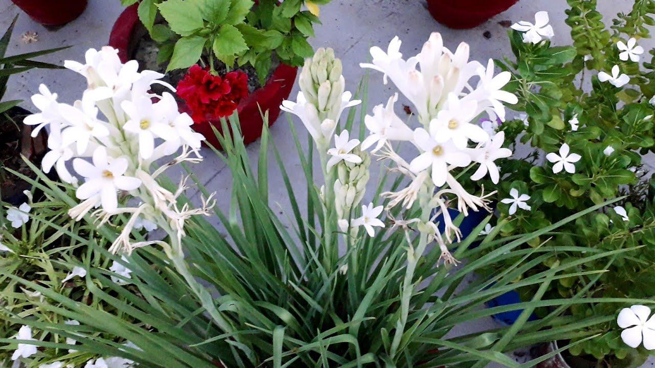 Rajnigandha plant care tips in Pot   रजनीगंधा खुशबू में फूल नहीं आ रहे #Fragrant Flower Plant Hindi