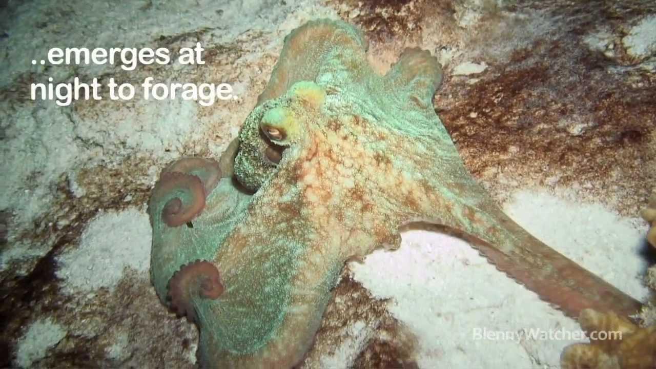 Caribbean Reef Octopus - Blennywatcher.com - YouTube