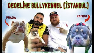 AMERİCAN BULLY POCKET'S AND PUPPIES BABY İSTANBUL IN TURKEY DEDELİNE BULLY KENNEL