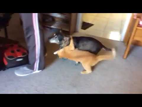 CAT ATTACKING DOG SO FUNNY