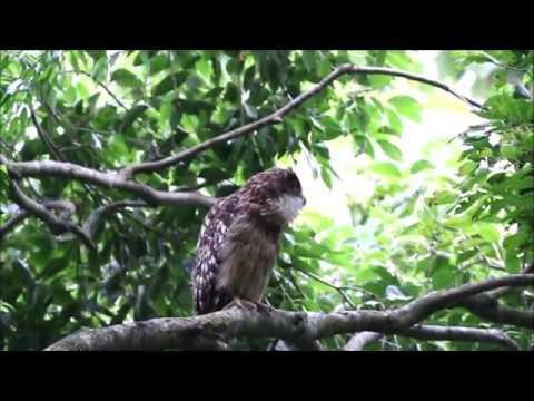 Brown Fish Owl Call