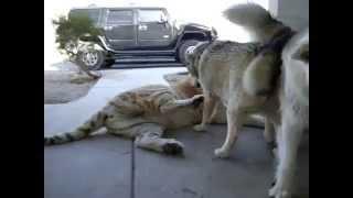 İtlər və Şirin davası , Tiger vs Dogs