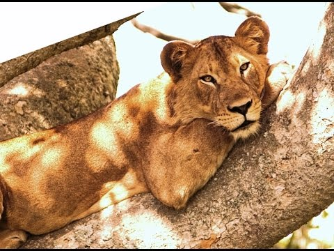 LIONESS ON TREE ? UNBELIEVABLE VIDEO. Asiatic lions never Soar above tree ? Gir national park.