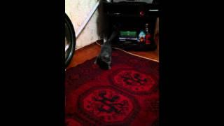 Кошка приносит палочку как собака