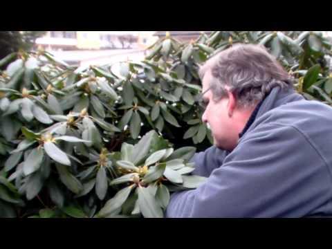 Wie schneide ich Rhododendron