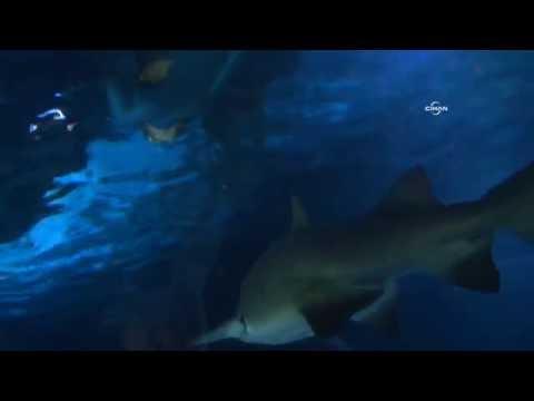 Rekortmen Yüzücü Köpek Balıklarıyla Daldı