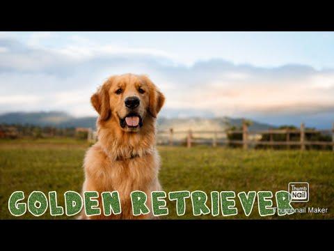 Akshay Kumar Entertainment Movie Dog || Golden Retriever || Dr Ankit Chhibber ||  SCOOBERS