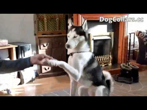 Funny Dogs-Well Trained Husky Dog Training Tricks [HD]