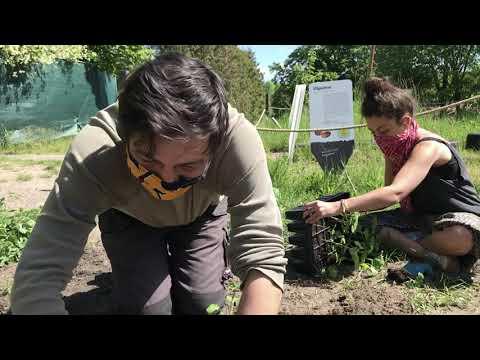 Pflanzung der Baumwolle