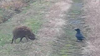 我が家の近くの農道を走っていたら、目の前に野生のイノシシの子どもが...