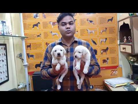 Cheapest Price Labrador Puppies For Sale Delhi NCR,,  #Labradorpuppy#Labrador#