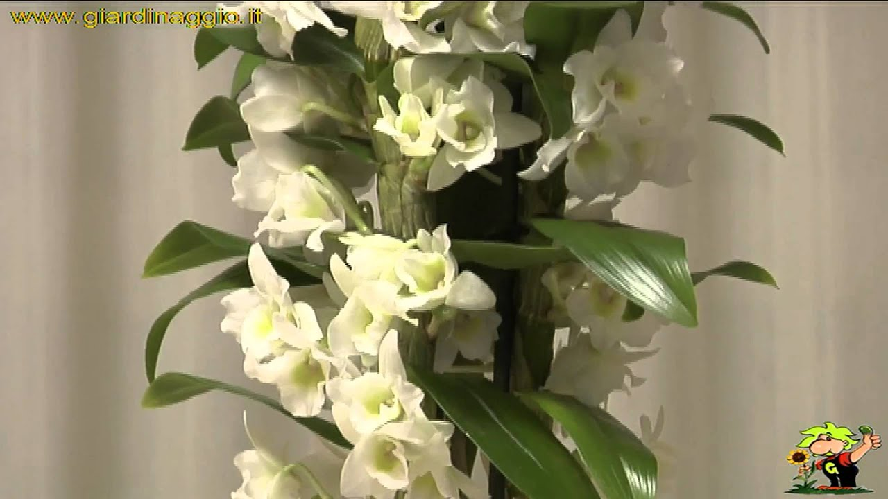 orchidee dendrobium youtube. Black Bedroom Furniture Sets. Home Design Ideas