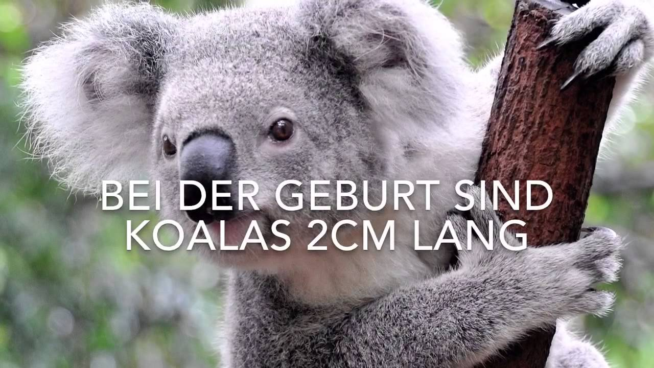 10 Fakten über Koala Bären - YouTube