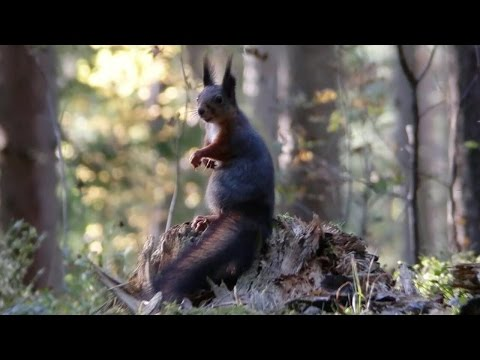The Red Squirrel - Endangered by the Duke of Bedford and the Princess of Monaco