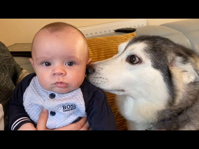 Huskies Fall In Love With New Baby!! [RUPERT MEETS BABY TOO]