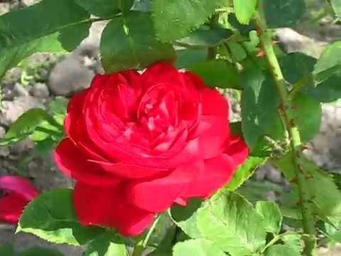 Саженцы роз в украине интернет-магазин leafland купить саженцы роз. Роза аспирин / aspirin двухлетняя купить саженцы в интернет-магазине.