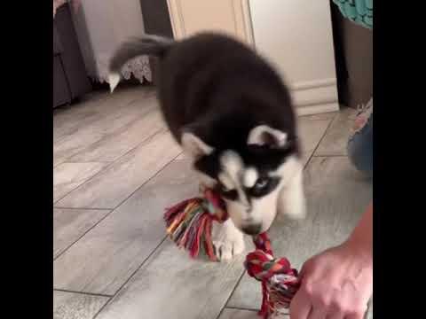 جرى كلاب هاسكي أصلي - YouTube