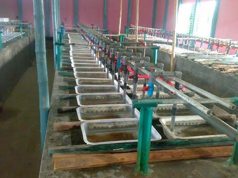 Monosex Tilapia Hatchery Fish Farm In Bangladesh Youtube