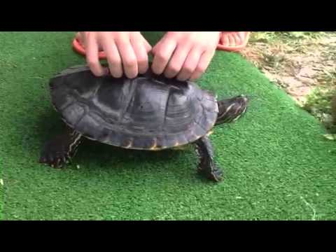 Turtle With Tickles Very Funny