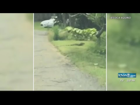 Iguana on the run! Woman finds 6-ft lizard in Waimanalo
