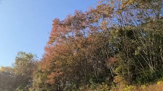 [4K] 단풍나무 아래