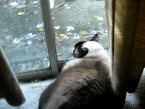 My Balinese Cats Greeting Neighbor Cat With Hugs and Kisses