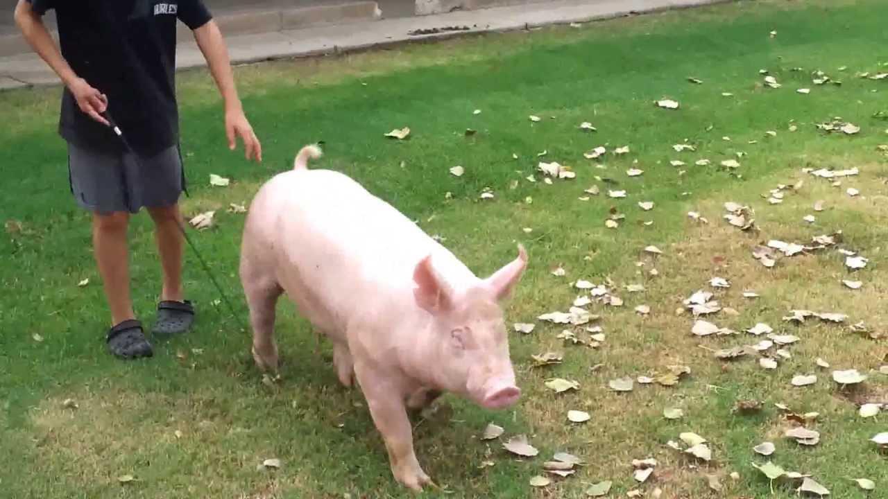 Nasser show pigs York ...