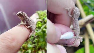 So groß wie eine Fingerkuppe: Winziges Baby-Chamäleon genießt Badetag