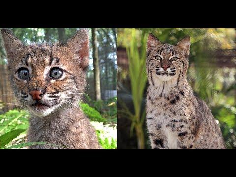 Bobcat Rehab Program