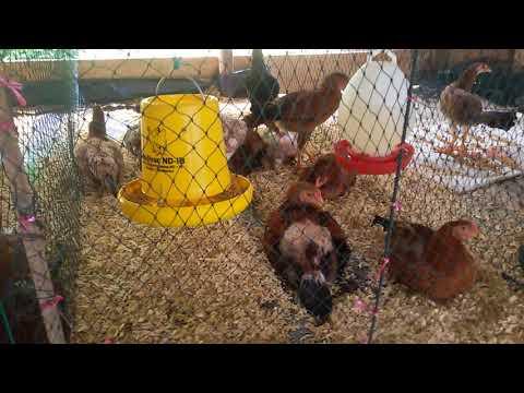 Kandang calon indukan ayam kampung asli unggul