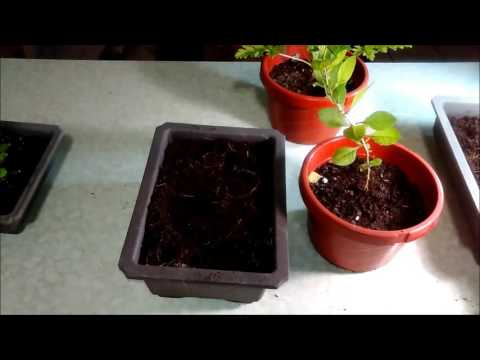 How To Grow And Propagate Blackberries And Goji Plants With Jason Pepe Http Www Pepespla