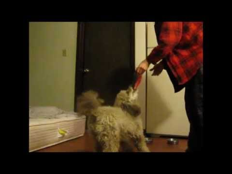 Cute Miniature Poodle Puppy Playing with Tug and Tricks