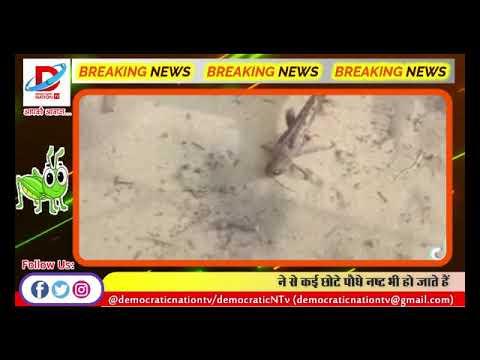 BIG ALERT || कोरोना के बीच देश में मंडराया टिड्डी गैंग का खतरा || Grasshopper