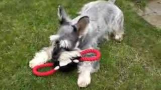 Buster - Miniature Schnauzer