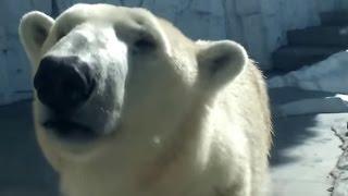 Repeat youtube video Polar bears have come! ホッキョクグマがやって来た!
