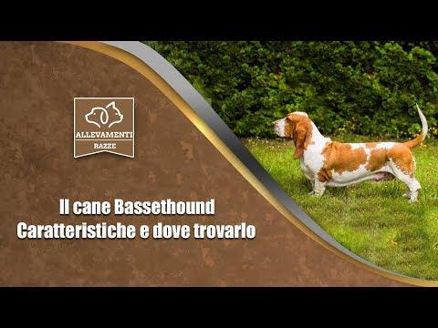 Il cane Bassethound - Caratteristiche e dove trovarlo